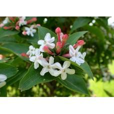 Koreanabelia (tuoksuabelia) (Abelia mosanensis)