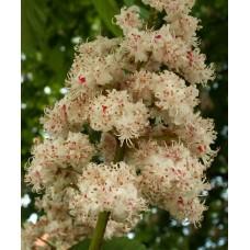 """Balkaninhevoskastanja """"Baumannii"""" (Aesculus hippocastanum """"Baumannii"""")"""