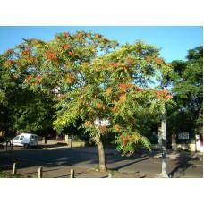 Jumaltenpuu (Ailanthus altissima)