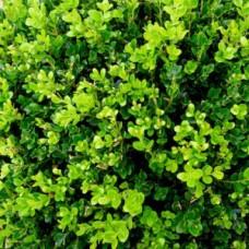 Japaninpuksipuu 'Faulkner' (buxus microphylla 'Faulkner')