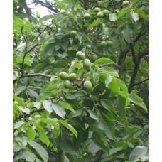 Saksanpähkinä (Juglans regia var carpathian)