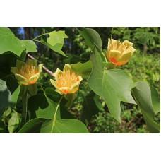 Lännentulppaanipuu (Liriodendron tulipifera)