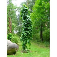 Lännenpiippuköynnös (Aristolochia macrophylla)