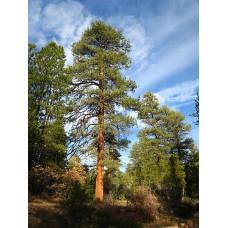 Keltamänty (Pinus ponderosa)