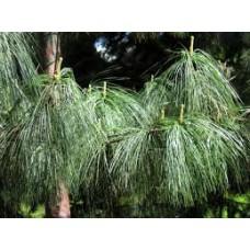 Kyynelmänty (Pinus wallichiana)