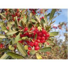 Hopeapuhvelinmarja (Shepherdia argentea)