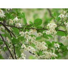 Japaninstoraksi (Styrax japonica)