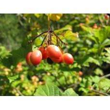 Amerikanheisi (Viburnum trilobum)