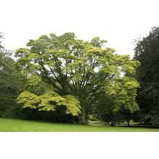 Amurinkorkkipuu (Phellodendron amurense)