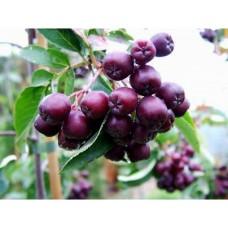 """Makeapihlaja """"Burka"""" (Sorbus aucuparia x Sorbus aria x Aronia arbutifolia)"""