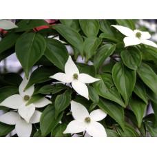 Liljakanukka (Cornus kousa var. Chinensis)