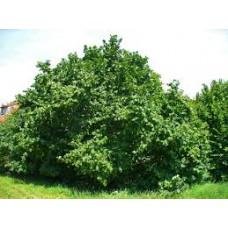 Isopähkinäpensas (Corylus maxima)