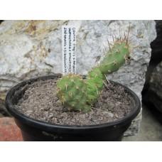 Hapraopuntia x Pihaopuntia (Opuntia fragilis x polyacantha)