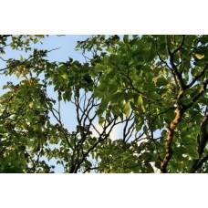 Hovenia (Hovenia dulcis)