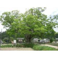Idänselkova (Zelkova serrata)