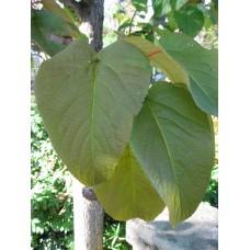 Isolehtipoppeli (Populus lasiocarpa)