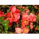Japaninruusukvitteni (Chaenomeles japonica)