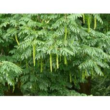 Japaninsiipipähkinä (Pterocarya rhoifolia)