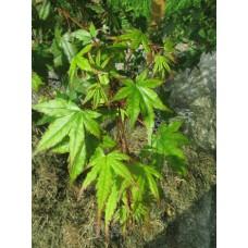 Japaninvaahtera (Acer palmatum)