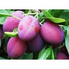Luumu Jubileum (Prunus domestica)