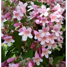 """Kellokuusama """"Rosea"""", (Kolkwitzia amabilis """"Rosea"""")"""