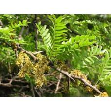 Kolmioka (Gleditsia triacanthos)