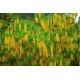 Kaljukultasade (Laburnum alpinum)