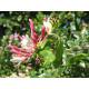 Tuoksuköynnöskuusama (Lonicera caprifolium)