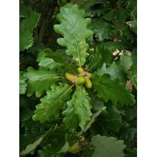 Talvitammi (Quercus petraea)