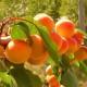 "Aprikoosi ""Tiina"" (Prunus armeniaca)"