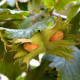 Euroopanpähkinäpensas 'Barcelona' (Corylus avellana 'Barcelona')