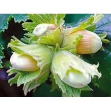 Isopähkinäpensas 'Cosford' (Corylus maxima 'cosford')