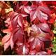 Imukärhivilliviini (Parthenocissus quinquefolia)