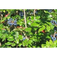 Mahonia (Mahonia aquifolium)