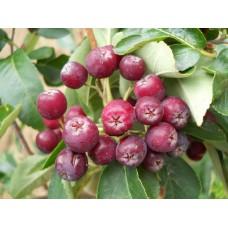 """Makeapihlaja """"Titan"""" (Sorbus aucuparia x Sorbus aria x Aronia arbutifolia X Malus baccata x Pyrus communis)"""