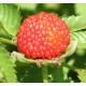 Mansikkavadelma (Rubus illecebrosus)