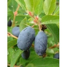Marjasinikuusama 'Nimfa' (Lonicera caerulea var. Kamtschatica 'Nimfa')