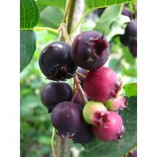 """Marjatuomipihlaja """"Northline"""" (Amelanchier alnifolia """"Northline"""")"""