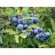 Oratuomi (Prunus spinosa)