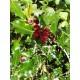 "Orjanlaakeri ""Alaska"" (Ilex aquifolium ""Alaska"")"