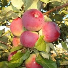 Omenapuu Orlik (Malus domestica)