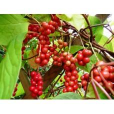 Palsamiköynnös (Schisandra chinensis)
