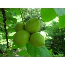 Japaninjalopähkinä (Juglans ailanthifolia)
