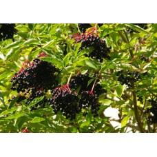 "Mustaselja ""Sampo"" (Sambucus nigra)"