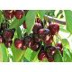 "Makeakirsikka ""Stella"" (Prunus avium)"