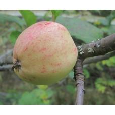 Omenapuu Suislepp (Malus domestica)