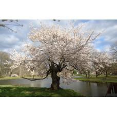 Japaninkirsikka 'Tai Haku' (Prunus serrulata 'Tai Haku')
