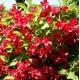 """Komeakotakuusama """"Red Prince"""" (Weigela florida)"""