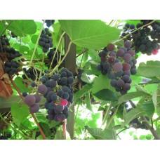"Viiniköynnös ""Zilga"" (Vitis vinifera x labrusca 'Zilga')"