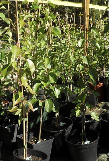 Kasvatamme päärynäpuiden taimia